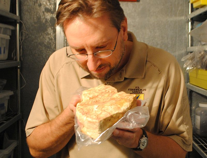 Curator Bill Cantine sniffs a 150-year-old block butter that was recovered still intact from the excavation of the Steamship Bertrand.